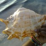A huge shell off the beach at Diani