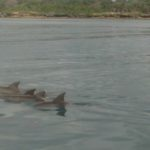 While off the Wasini Island coast, dolphins frolicked in the water around us