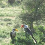 Yellow and Red billed hornbills