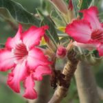 Deadly desert rose, DON'T touch it!