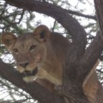 Lioness in tree, a rare sight!