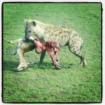 Highlight of my trip - finding a hyena dragging a kill