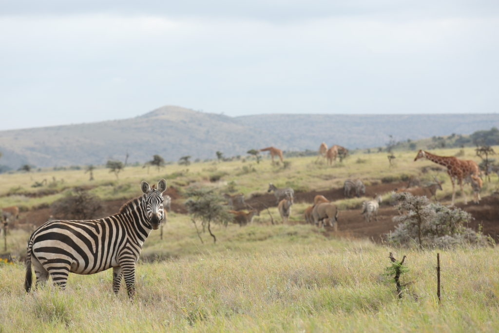 Wildlife on Lewa plains